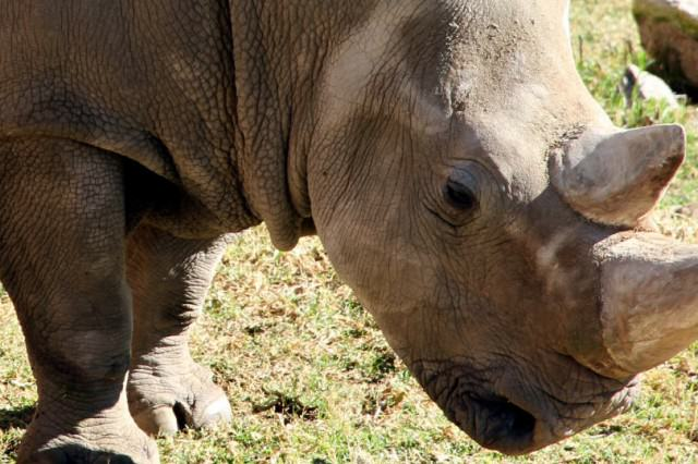 RHINO3 640x426 One Of The Last Northern White Rhinos In The World Has Died