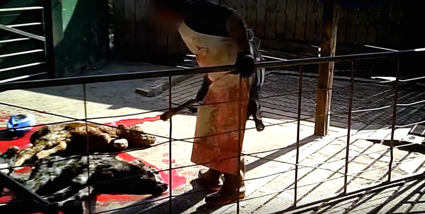 Screen Shot 2015 11 30 at 11.32.19 Shocking Undercover Footage Exposes Horrific Dairy Cow Cruelty