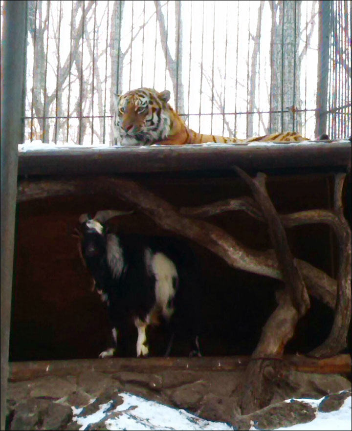 Siberian Times Goat Put In Tiger Enclosure As Lunch, Steals Tigers Bed And Becomes Boss
