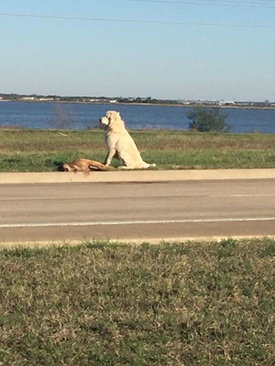 UNILAD 183594 Heartbreaking Photo Shows Loyal Dog Refusing To Leave His Dead Friends Side