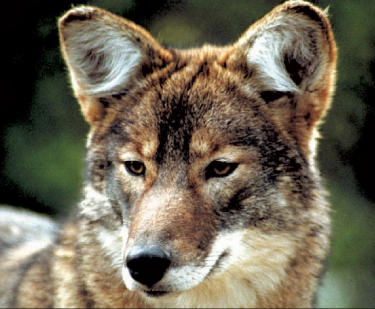 UNILAD Jonathan Way9588 Meet The Coywolf, A Coyote Wolf Hybrid Whose Population Is Rapidly Soaring