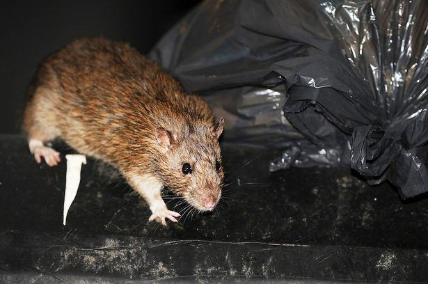 UNILAD Rat in rubbish48944 Forget Giant Mutant Rats, Plague Of Super Smart Mice To Hit UK
