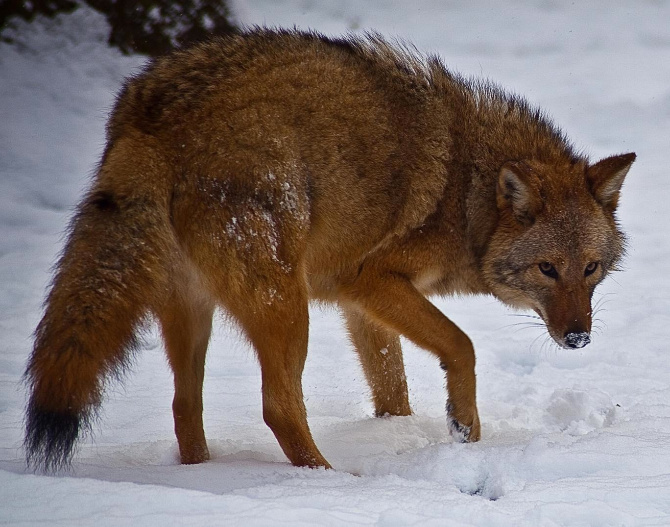 UNILAD Wikimedia54481 Meet The Coywolf, A Coyote Wolf Hybrid Whose Population Is Rapidly Soaring