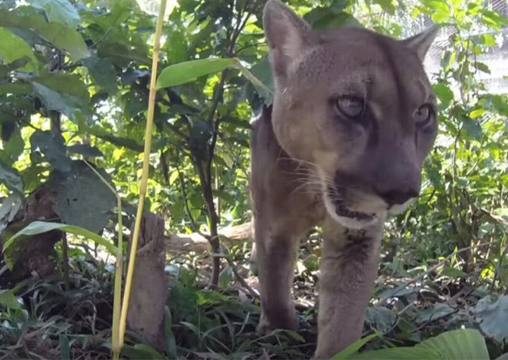 UNILAD lionforest29550 Social Media Outcry Prompts Mufasa The Mountain Lion Being Returned To Forest