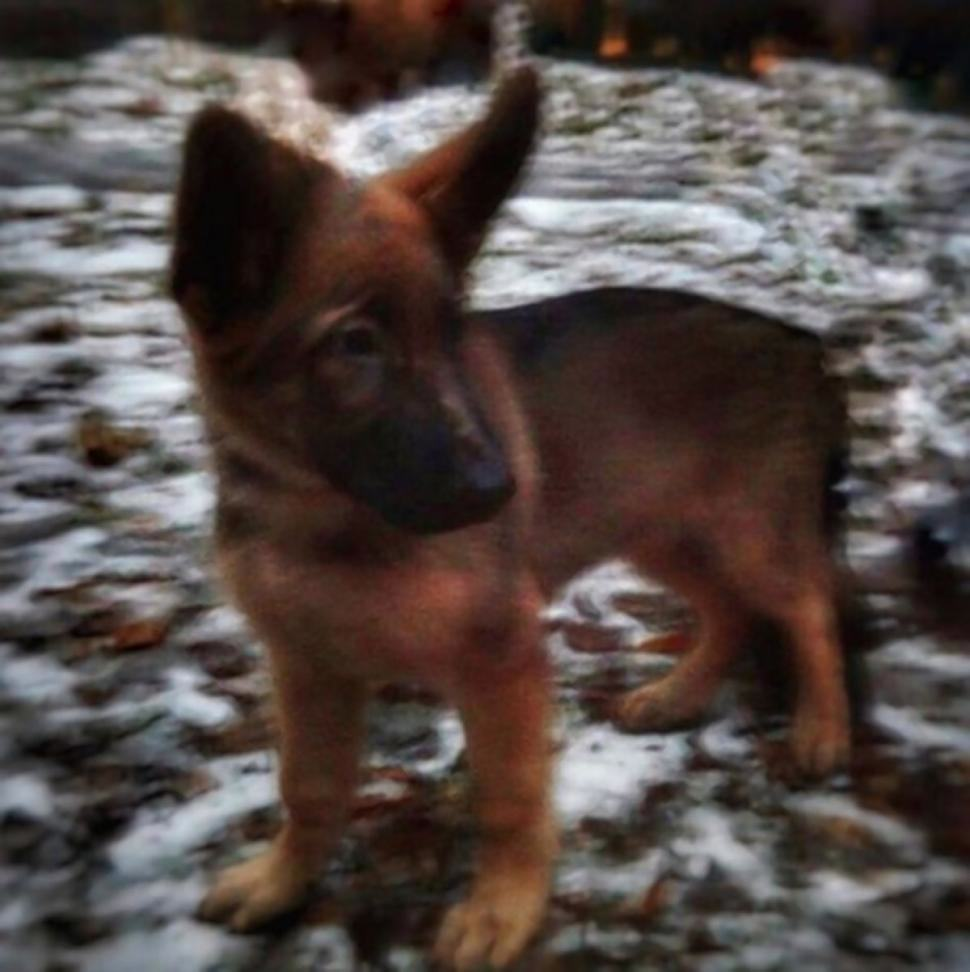 diesel21n 4 web Russia Donate Puppy To Take Place Of French Hero Dog