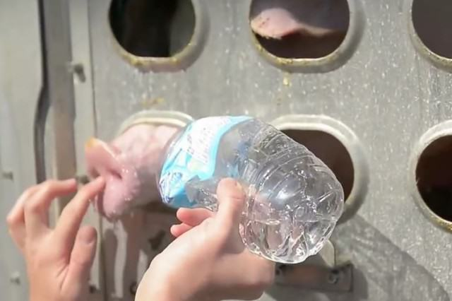 This Woman Faces 10 Years In Jail For Giving Water To Thirsty Pigs pigs5 640x426