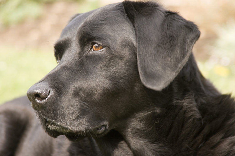blacklab1 Hero Dog Saves Woman From Would Be Sex Attacker