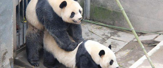 n PANDA SEX large570 Seven Times Animals Did Amazing Things In 2015