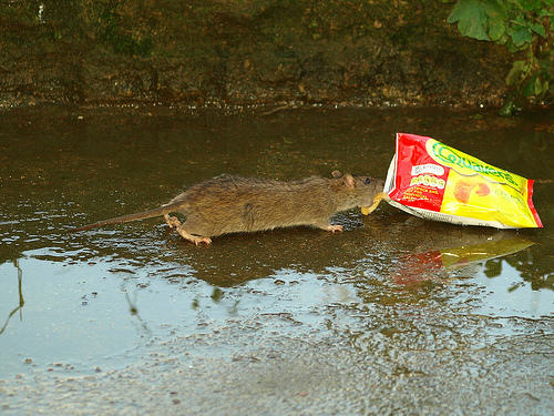 4105767543 aef2e53cd4 1 Disgusting Story Of Man Who Accidentally Shared His Crisps With A Rat