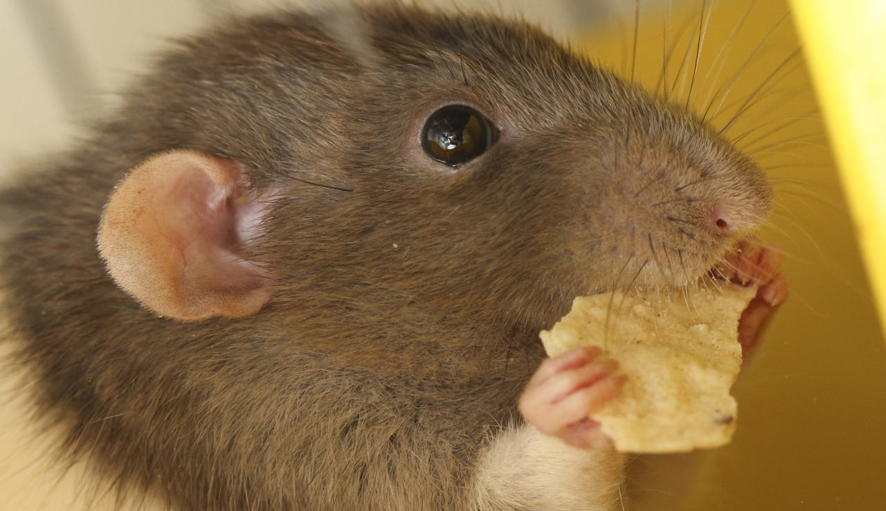 tumblr mgi0ucXosI1qfk7ypo1 1280 Disgusting Story Of Man Who Accidentally Shared His Crisps With A Rat
