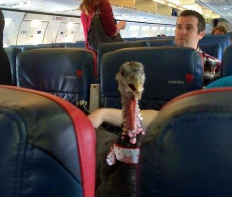 turkey2 Someone Actually Brought Their Emotional Support Turkey On A Plane With Them