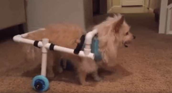 benny1 Guy Builds Awesome Homemade Wheelchair For Disabled Dog