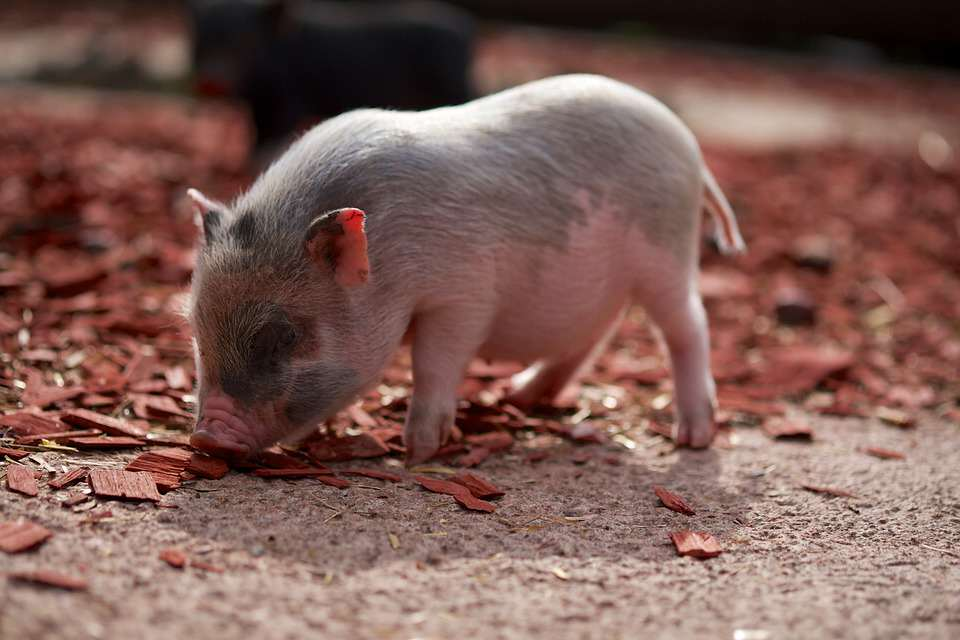 A Piglet Has Been Born With Testicles Instead Of Eyes pig2