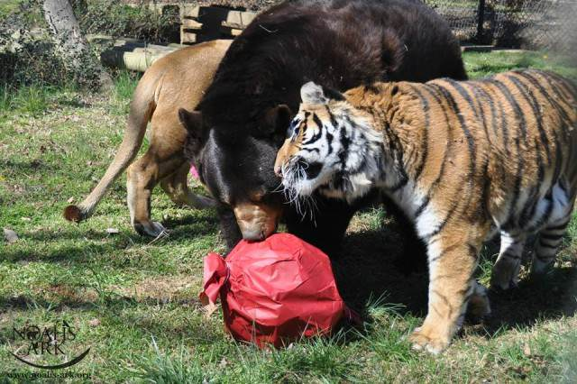 12742845 10156598857460088 4928550224988690304 n 640x426 Story Of How This Lion, Tiger And Bear Became Brothers Will Melt Your Heart