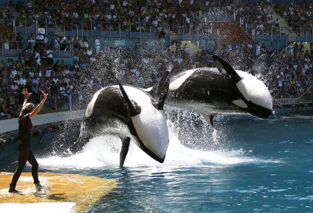 blackfish3 Heres What Will Happen To SeaWorlds Last Generation Of Killer Whales