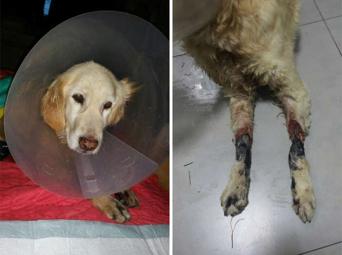 dog3 Incredible Recovery Of Puppy Who Lost All Four Paws In Korean Meat Market