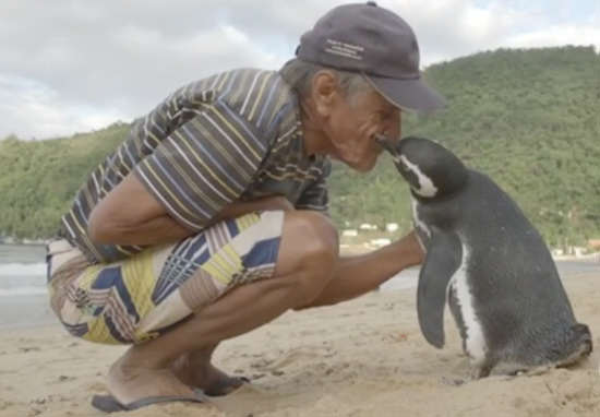 Loyal Penguin Swims Thousands Of Miles Every Year To Visit His Rescuer
