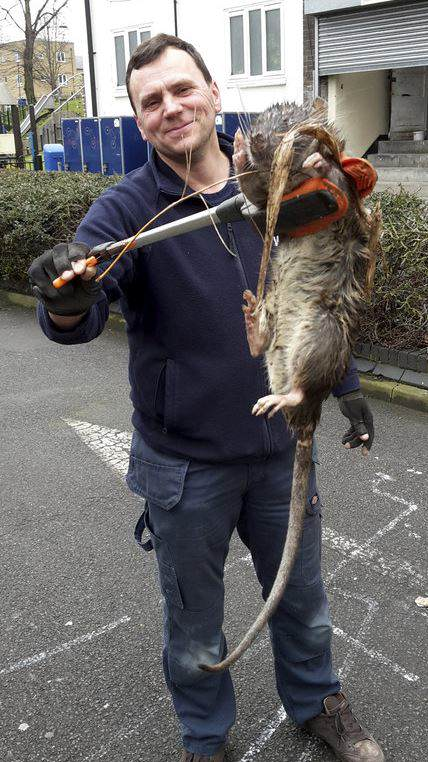 rat Plot Twist In The Tale Of The Giant Rat Found In London