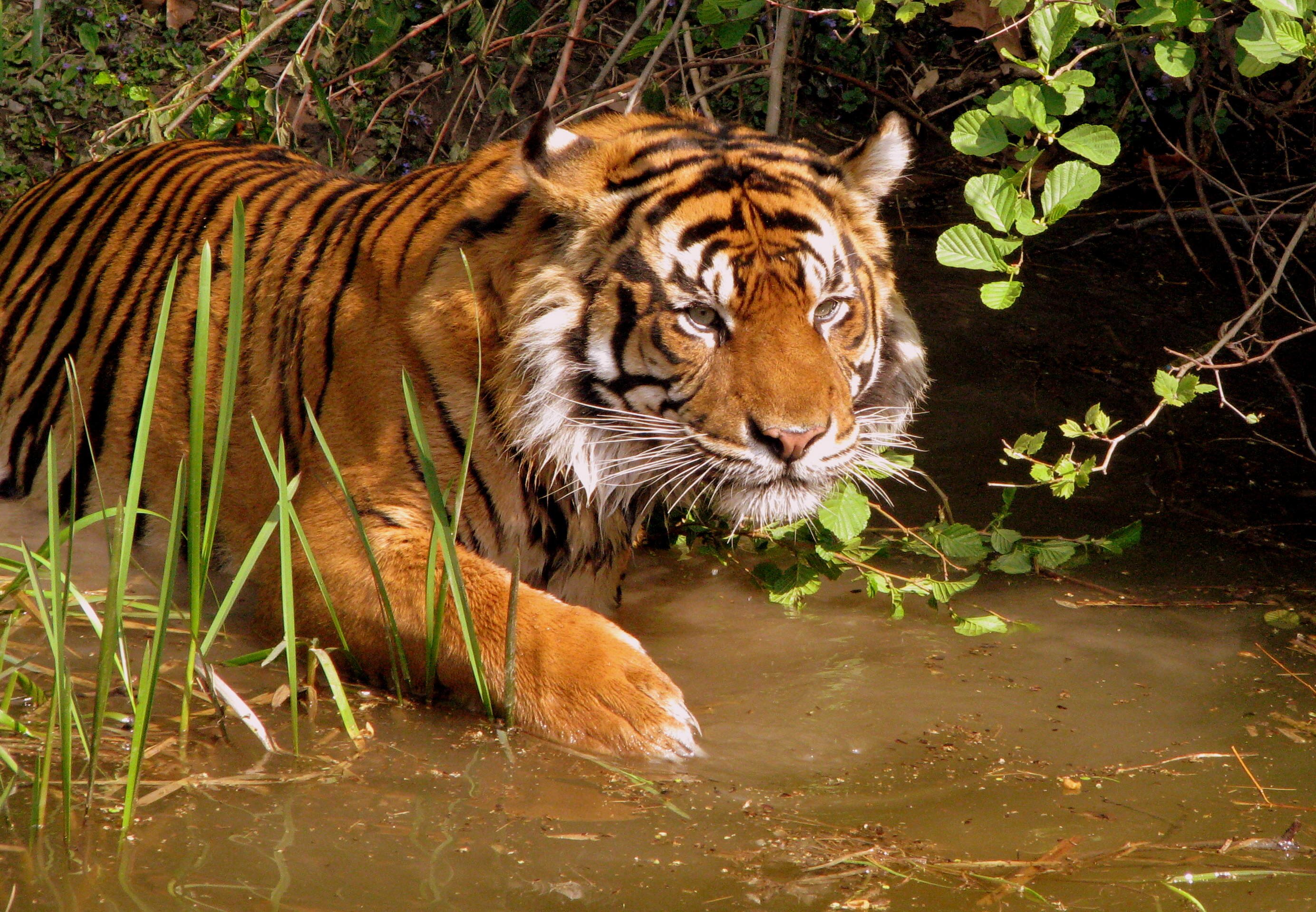 tiger3 There Could Finally Be Some Good News For Endangered Tigers