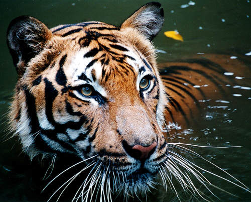 tiger4 There Could Finally Be Some Good News For Endangered Tigers