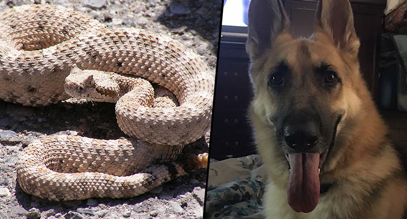 Hero Dog Saves Girl, 7, From Deadly Snake Attack FaceThumb rattle