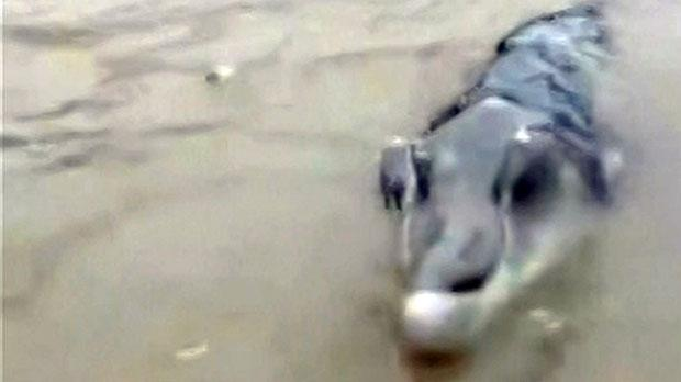 croco1 Chinese Fishermen Shocked After Catching Weird Crocodolphin