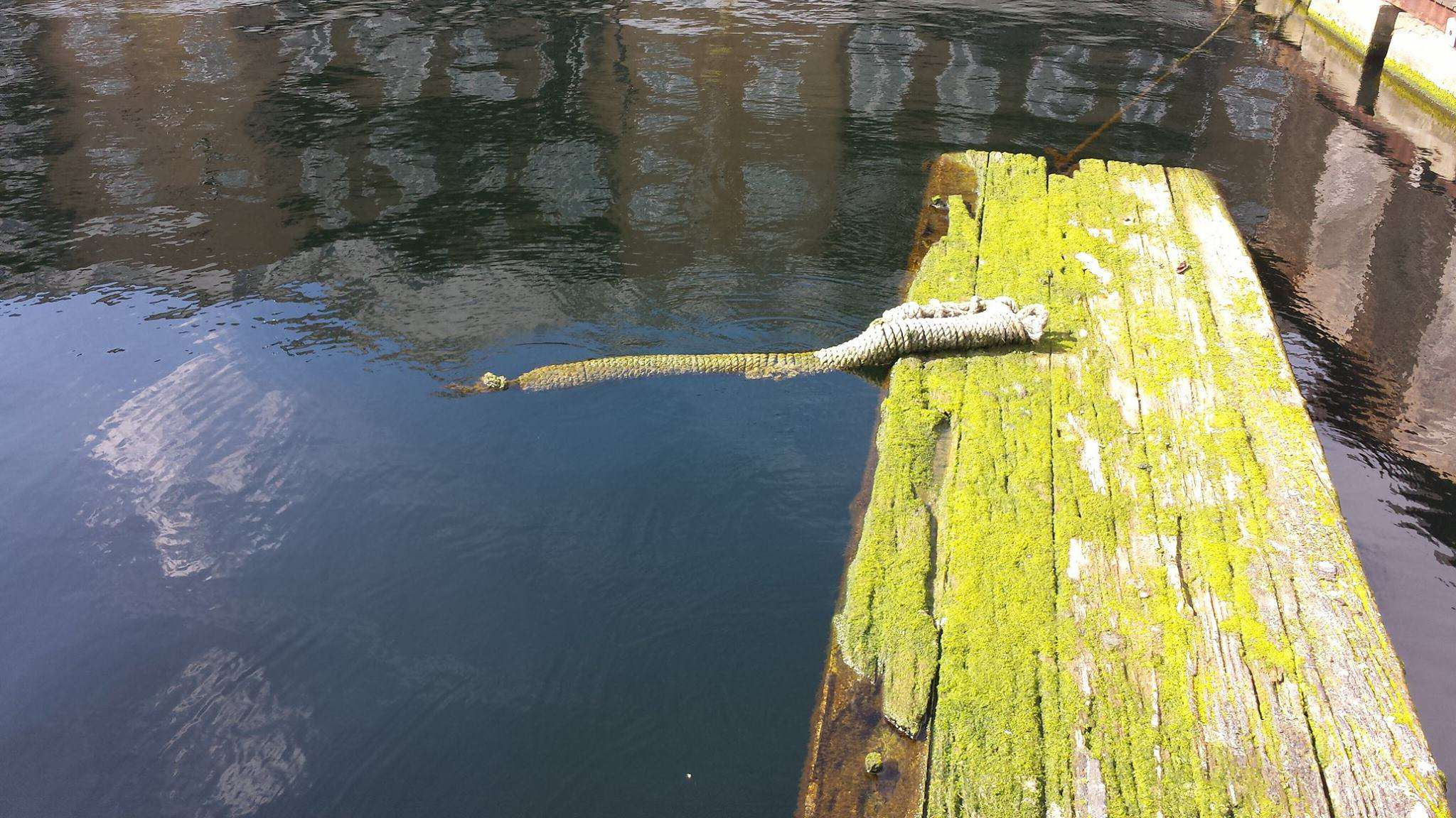 13559113 1182010251843579 5619429096940091575 o Britains First Wild Crocodile Spotted In River