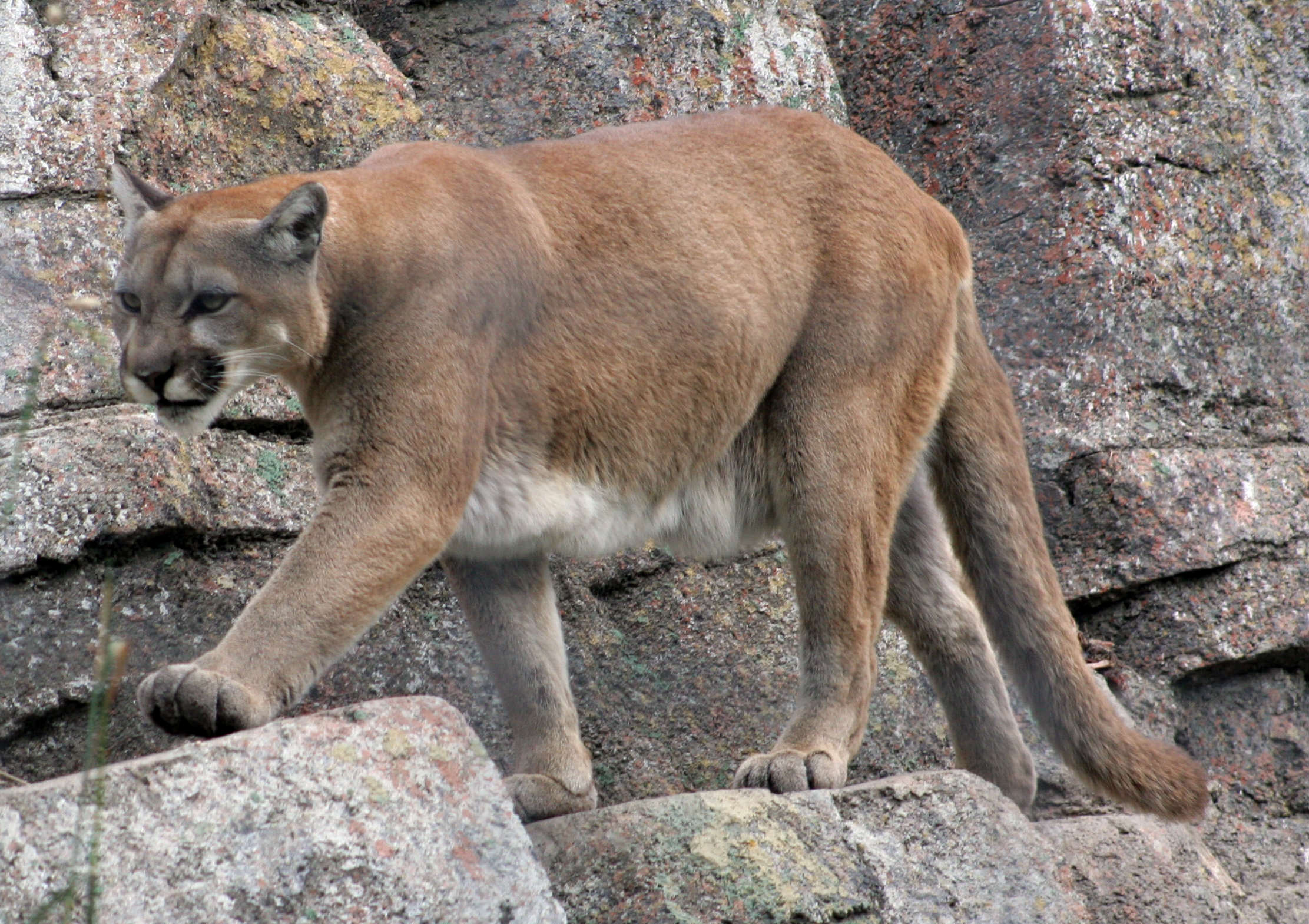 1413305571 800f2cbcc8 o Mum Rescues Five Year Old Son From Jaws Of Mountain Lion