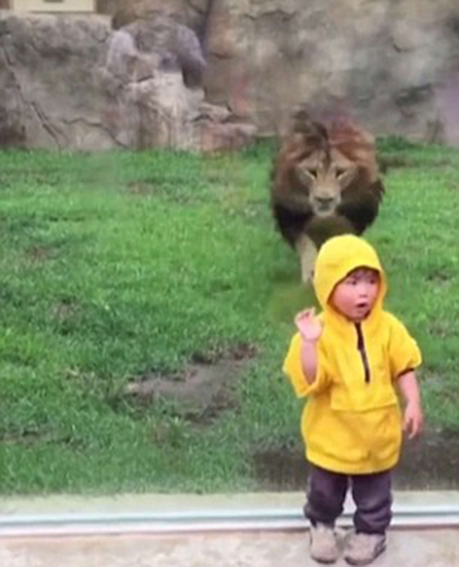 lion 4 2911061a Terrifying Moment Lion Tries To Attack Toddler In Zoo