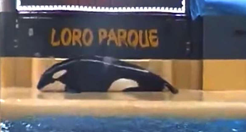 seaworld fb Shocking Video Shows SeaWorld Killer Whale Trying To Commit Suicide