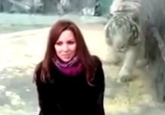 tiger1 Another Tiger Pounces At Zoo Visitor As Trend Goes Too Far