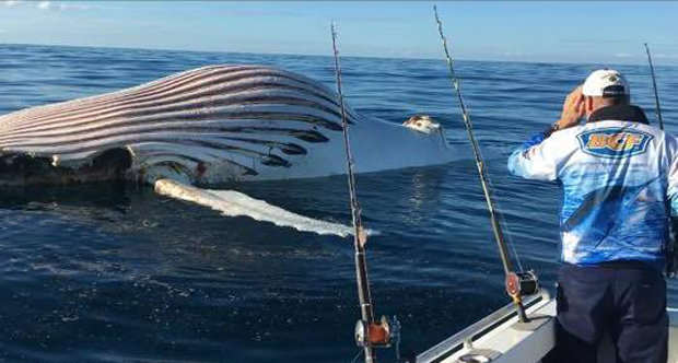 Fisherman Finds Huge Alien Like Sea Monster Floating In Sea Mark Watkins 597148