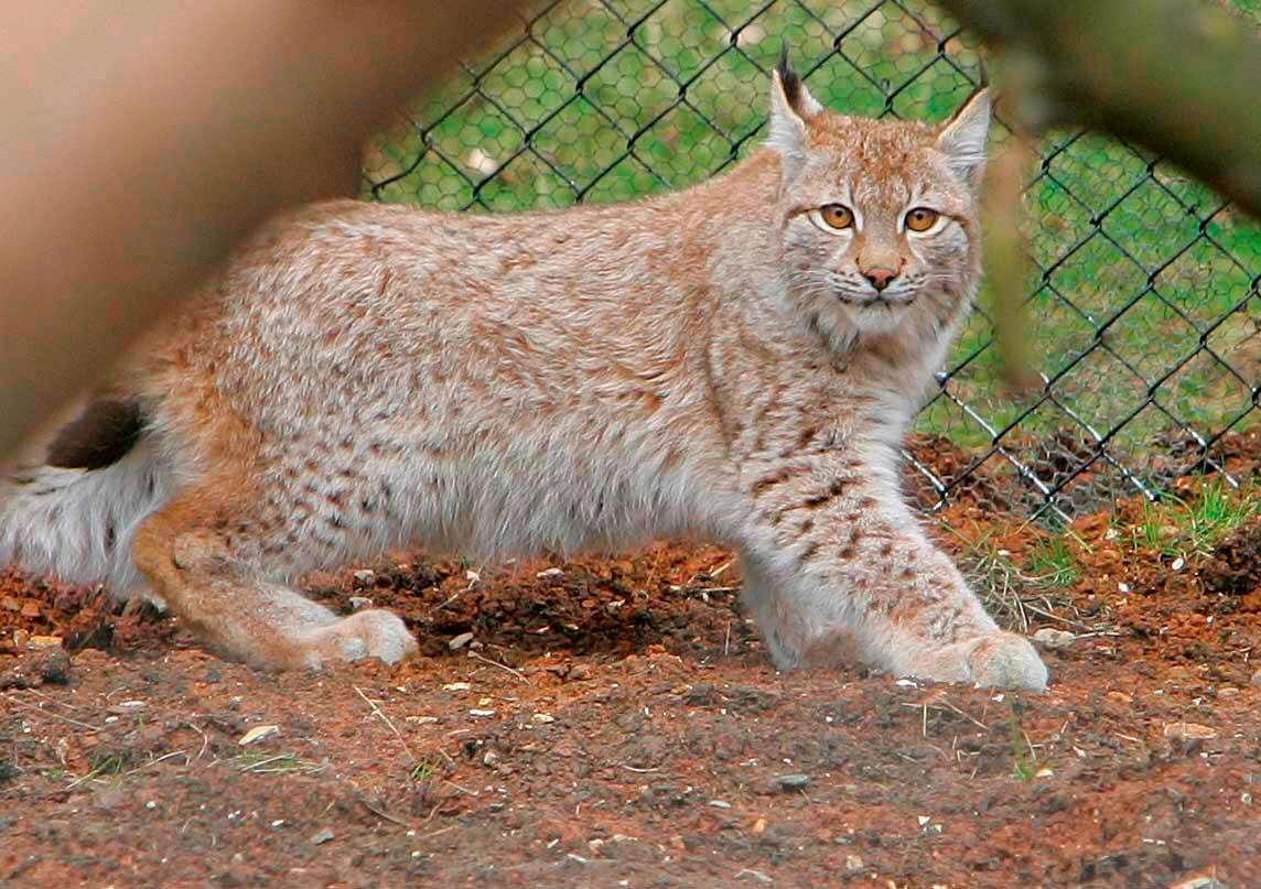 lynx2 Runaway Lynx Fools Zookeepers With Second Daring Escape