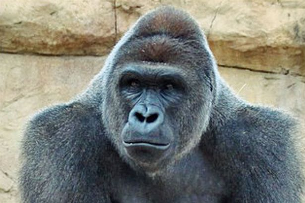 Harambe at Gladys Porter Zoo before being relocated to Cincinnati Zoo 1 Harambe Is Latest Celebrity To Have Sex Tape Leaked Online