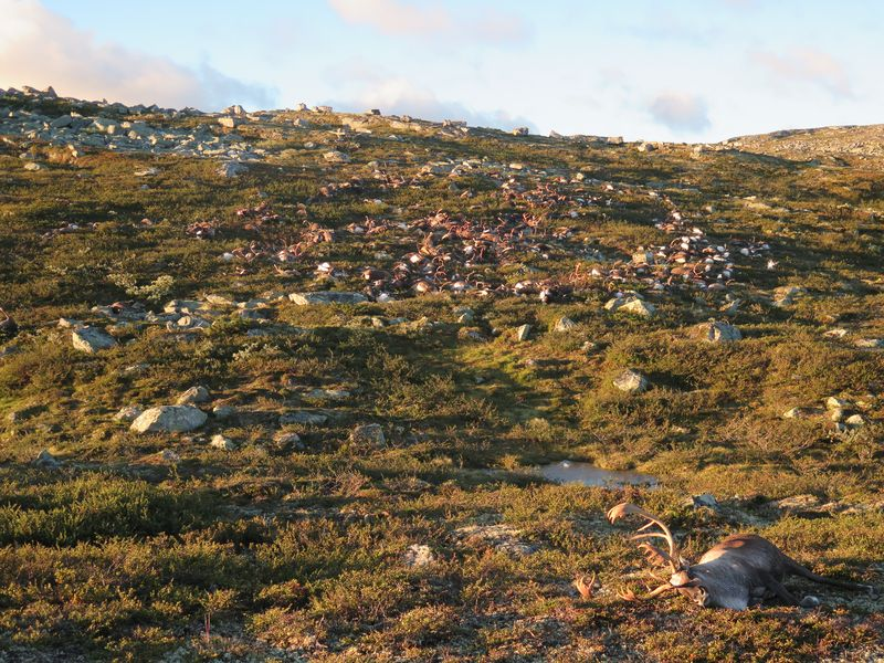 reindeer1 Lightning Strike Kills Over 300 Reindeer In Freak Accident