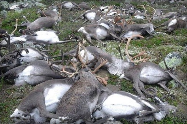 reindeer2 Lightning Strike Kills Over 300 Reindeer In Freak Accident