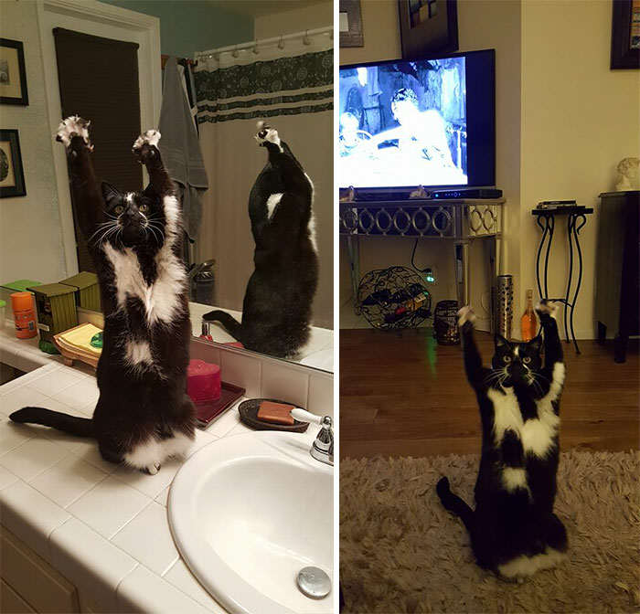 This Cats Adorable Trick Has Made It An Internet Superstar standing cat keys goal kitty 27