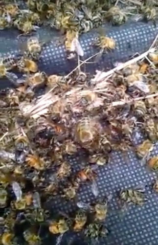 Millions Of Bees Killed Accidentally In Battle Against Zika Virus bees6