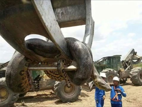 nintchdbpict000269676844 Workmen Find Largest Snake On Earth And Its Terrifying