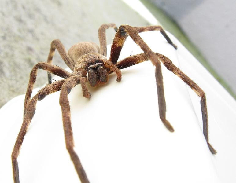 25323UNILAD imageoptim Huntsman spider Jon Richfield Wikimedia Footage Shows A Huge Huntsman Spider Drag Its Prey To Grisly End