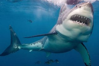 This Is Why You Never See Great White Sharks In Aquariums