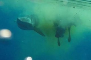 Crazy Footage Shows Massive Shark Eating Cow In Middle Of Ocean
