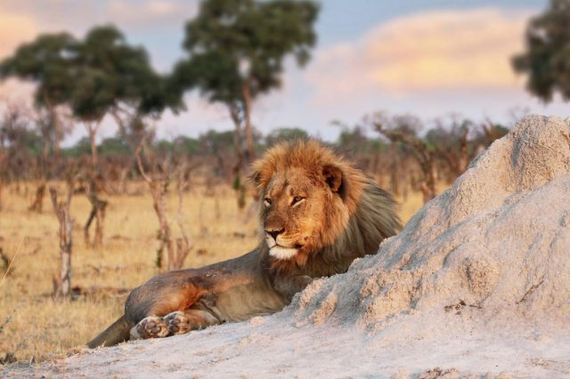 12474UNILAD imageoptim PA 29056405 640x426 Cecil The Lions Brother Found Dead, Foul Play Investigated