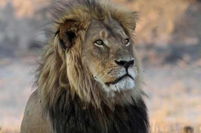 51751UNILAD imageoptim PA 26762235 640x426 Cecil The Lions Brother Found Dead, Foul Play Investigated