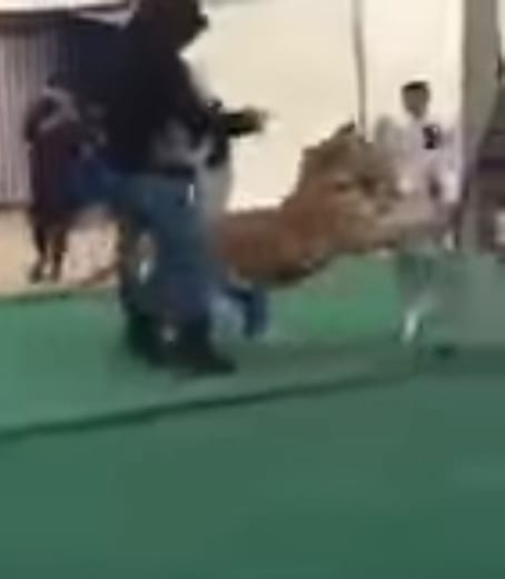 63190UNILAD imageoptim Tiger1 Shocking Snapchat Footage Shows Girl Attacked By Tiger On Leash