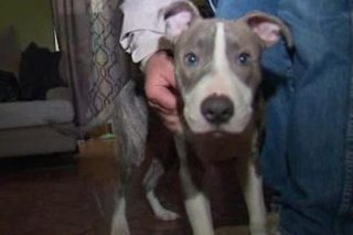 Hero Pit Bull Puppy Saves Woman From Sexual Assault