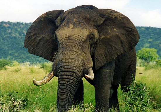 China Is Completely Banning The Ivory Trade In 2017