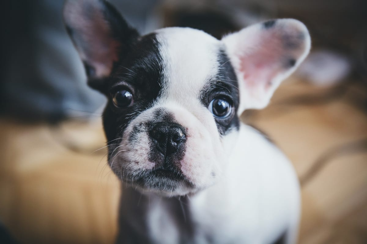 60636UNILAD imageoptim french bulldog puppy portrait Everyone Needs To Stop Buying Small Dogs With Big Heads, Heres Why