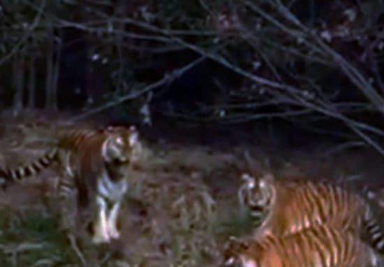 Tourist 'Mauled To Death' By Tigers After Climbing Into Enclosure