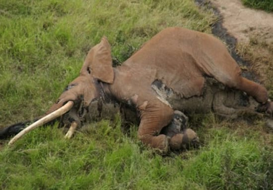 Incredibly Rare 50-Year-Old African Elephant Killed By Poachers